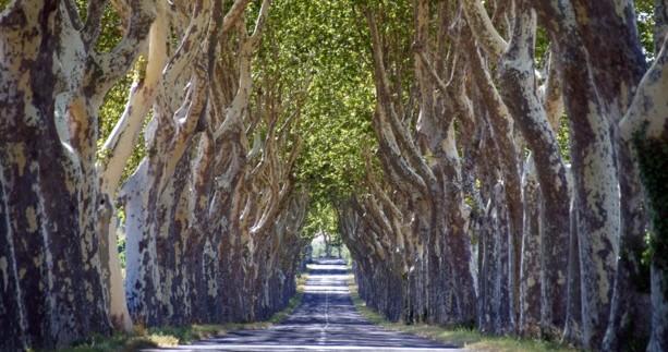 platanes-arbres-alignement-route